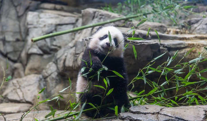 January's Best Giant Panda Moments—In Video