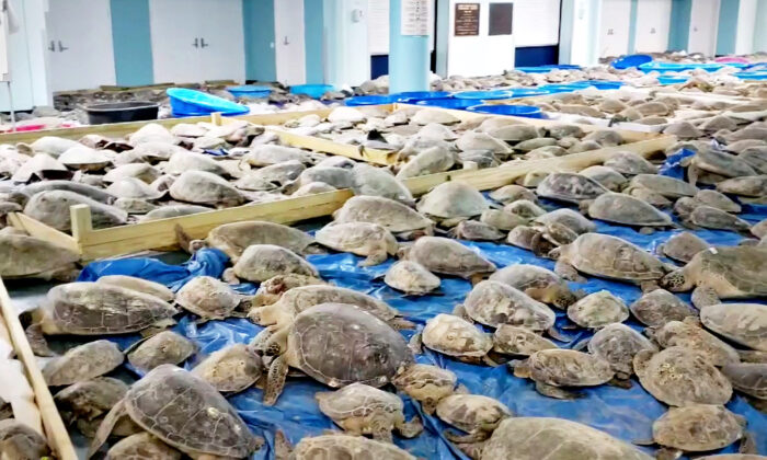 Thousands of 'Cold-Stunned' Sea Turtles Off Coast of Texas Rescued, Warmed in Convention Center